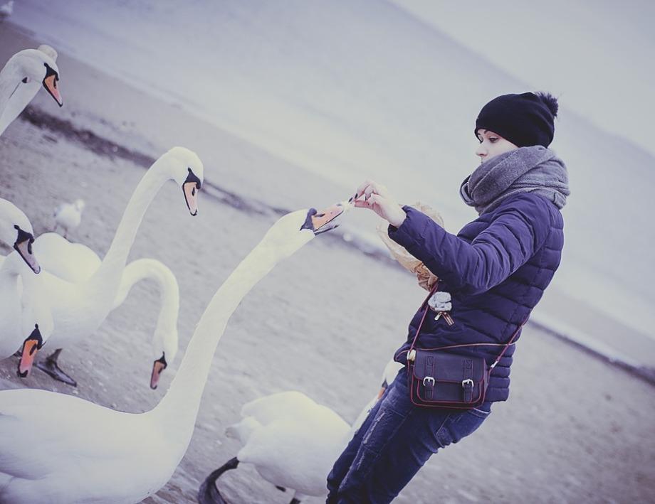 swans-932696_960_720.jpg